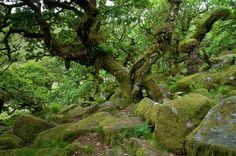 Wistman's Wood, Dartmoor, England