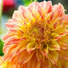 'El Sol' - 50 Gorgeous Dahlias  - Sunset ... Brace yourself—blooms are up to 12 inches wide on a 4½-foot-tall plant