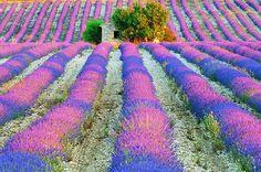 """La lavande provençale ~  """"Le mauve s'étale dans les champs méridionaux de lavande de Provence."""" Photo © """"France, un fabuleux pays"""", Editions Déclics, Vincent Formica.  ~  spreads of purple... in southern lavender fields of Provence ..."""