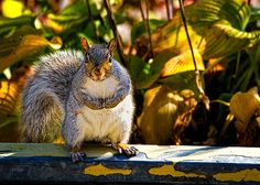 """One Gray Squirrel - Original fine art wildlife photography by Bob Orsillo Copyright (c)Bob Orsillo / http://orsillo.com - All Rights Reserved.  Buy art online.  Buy photography online   Gray Squirrel caught in the act of hiding his stash strikes """"The Pose"""" Photography by Bob Orsillo"""
