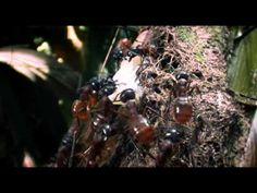 And here's an extra video of ants being totally amazing if that's your kind of thing: | This Incredible Video Of Ants Carrying A Massive Worm Will Make You Feel Unbelievably Lazy
