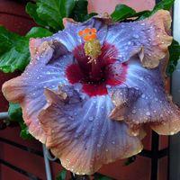 Tahitian Orange Rainbow x Tahitian Moody Blues Taiwan Hibiscus - Linda Lee Blue Hibiscus, Hibiscus Plant, Rose Of Sharon, Organic Seeds, Moody Blues, Hollyhock, Tropical Flowers, Garden Projects, Pink Color