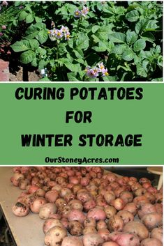 Curing potatoes before winter storage is an important process that will help assure longer storing times for your potato crop.#curingpotatoes #gardening #backyardgardening #vegetablegardening