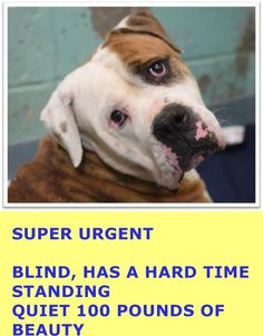 ★2/19/15 SL★SUPER URGENT - 02/16/15★ Brooklyn Center   LOKEN - A1027980  **BLIND. HAS A HARD TIME STANDING**  MALE, BR BRINDLE / WHITE, AMER BULLDOG MIX, 5 yrs, OWNER SUR - EVALUATE, NO HOLD Reason COST  Intake condition GERIATRIC Intake Date 02/14/2015 https://www.facebook.com/Urgentdeathrowdogs/photos/pb.152876678058553.-2207520000.1424202063./963629006983312/?type=3&theater