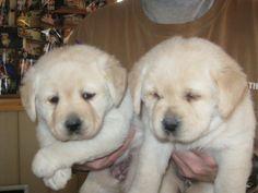 White English Labrador Puppies. Small and fat? CHECK!! :D