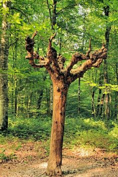 La légendre de l'arbre d'or - foret de chaux