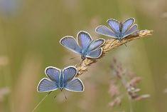 My blue butterflies.