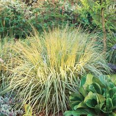 Ornamental grasses add easy, airy beauty to Midwest gardens.
