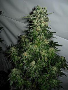 Sticky Apple Pie - cannabis seeds