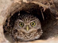 Burrowing Owl clipart hoot - pin to your gallery. Explore what was found for the burrowing owl clipart hoot Owl Bird, Pet Birds, Birds 2, Bird Pictures, Cute Pictures, Animals And Pets, Cute Animals, Funny Animals, Burrowing Owl
