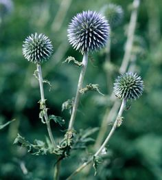 Globe Thistle One of the best flowers many gardeners have never heard of, globe thistle produces round, metallic-blue flowers though the summer. These flowers are perfect for drying and using in dried-flower projects and other crafts. Plus, it's a cinch to grow!  Name: Echinops 'Blue Globe'  Conditions: Full sun and well-drained soil  Size: To 4 feet tall  Zones: 4-9