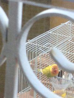 La visita de un perico muy colorido a la jaula de mis periquitos, comió de las semillas del dispensador de alimentos, se ven los míos dentro de la jaula!! Saludando el lindo periquito! Imagen 5