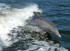 Mississippi State Water Mammal:  Bottlenose Dolphin  Photo from NASA: Kennedy Media Gallery  Scientists believe that every bottlnose dolphin develops a signature whistle. This whistle appears to serve as a means of individual identification, much like a name.