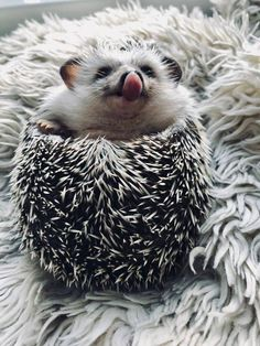 35 Pictures Of The Cutest Hedgehog You Will See Today | CutesyPooh Baby Animals Pictures, Cute Animal Pictures, Animals And Pets, Cute Little Animals, Cute Funny Animals, Cute Dogs, Hedgehog Animal, Pygmy Hedgehog, Happy Hedgehog