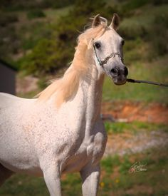 AL ZARKA  PETRA  Kaleef Ibn Sultan X Daantila by *Ibn Seef  1995 Grey  AHR*571460  Confirmed in foal to Ansata Nile Falcon for a March 2014 foal.  $4500