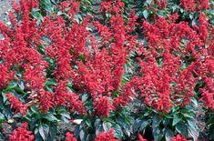 Find help & information on Salvia splendens 'Vanguard' scarlet-flowered sage 'Vanguard' from the RHS Summer Bedding Plants, Saag, Plant Identification, Hardy Plants, Hanging Baskets, Scarlet, Seasons, Flowers, Separate
