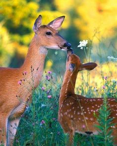 Wild baby animals , Doe and Fawn