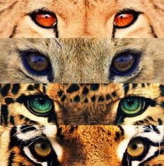 Eyes of Wild Cats. Top: Cheetah. Second to the top: Lion. Second to the Bottom: Leopard (or Jaguar). Bottom: Tiger.