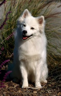 The devoted American Eskimo Dog makes a loving and intelligent companion. Beautiful Dogs, Animals Beautiful, Japanese Spitz Dog, American Eskimo Dog, Fluffy Dogs, Small Puppies, Happy Dogs, Cute Dogs, Adorable Puppies