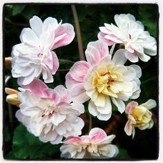 Pelargonium Lara Marjorie