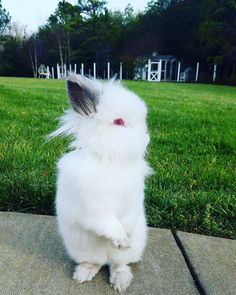 "480 Likes, 22 Comments - Penny/Happy Days Farm® (@happydaysfarm) on Instagram: """"I has fun outside dis mornin. Did you sees my Instastowy?"" . . . . . . #lapin #Conejo #konijn…"""