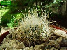Thelocactus macdowelii
