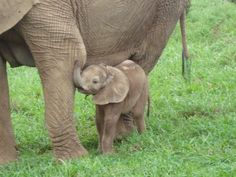 Baby elephans in search for milk, cute!