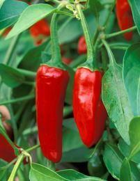 Chilipaprika Apache - Viherpeukalot