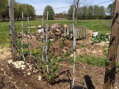 Trampoline springs for berry trellis Trampoline Springs, Trellis, Reuse, Repurposed, Berry, Recycling, Outdoor Structures, Garden, Plants