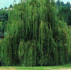 My grandparents had a huge willow tree. The kids would play under it or swing on the swings that were tied to the branches.