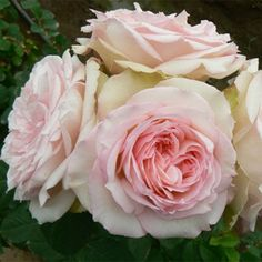 Pink Carmeline Spray Garden Roses are a stunning blend of pink petals that will leave you breathless. A ruffled, bubbly pink center eye delicately fades to a cr List Of Flowers, Flowers Today, Diy Wedding Flowers, Diy Flowers, Wedding Ideas, Light Pink Flowers, Pink Roses, Pink Garden, Garden Roses