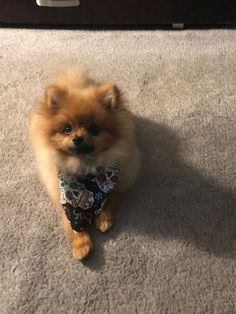 Marvelous Pomeranian Does Your Dog Measure Up and Does It Matter Characteristics. All About Pomeranian Does Your Dog Measure Up and Does It Matter Characteristics. Pomeranian Facts, Pomeranian Breed, Pomeranians, Teacup Pomeranian, I Love Dogs, Cute Dogs, Adorable Puppies, Save A Dog, Getting A Puppy