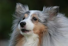 shelties - Google Search