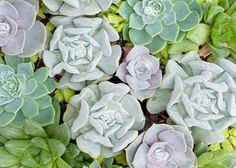 Succulents are the ideal no fuss plant. Requiring minimal space and attention, they deliver beautiful accents to any room or flower arrangement that even novice gardeners can handle. See the many ways you can display succulents when you click through.