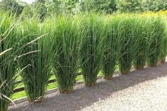new Ideas garden borders ideas ornamental grasses new Ideas garden borders ideas ornamentalYou can find Ornamental grasses . Privacy Plants, Privacy Landscaping, Front Yard Landscaping, Landscaping With Grasses, Landscaping Ideas, Privacy Hedge, Back Gardens, Outdoor Gardens, Miscanthus Gracillimus
