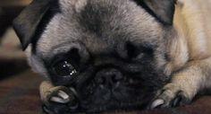 pewdiepie pug maya | Maya the Pug Puga Chan