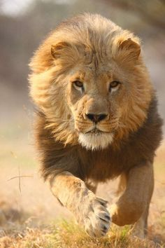 Africa |  Running Lion | © Antelope Park Lion Research Photography Project in Zimbabwe