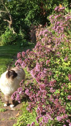 #ragdollcats #ragdollkittens #marjoram #bees #butterflies #backyardbeekeeper #pollinators #pollination #wildflowers #herbs #purpleflower #herbgardening #herbgardenideas