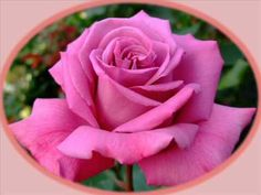 Beautiful Blooms 130 (Kiss From A Rose)