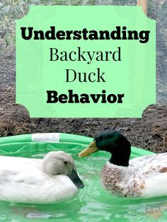Part of the reason ducks are so fun to keep as pets is they have such fun personalities! Check out my guide to understanding your duck's behavior