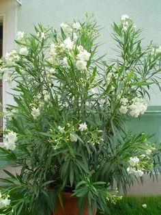 A három fő titok mellett egy meglepő tény is kiderül a leander magvetéséről. Bonsai, Garden, Balcony, Design, Decorative Garden Fencing, Harvest, Plants, Flowers, Mint