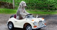 Bary the Bedlington terrier hit the headlines after learning to ride a tricycle, but he's now upgraded to classic cars - here he is in a Rolls Royce (video)