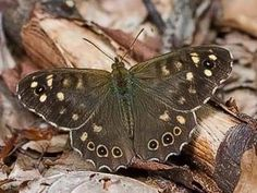 Speckled Wood, Pararge aegeria - Butterflies - NatureGate