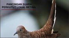 40 Burung Perkutut Ideas Hanoman Gaya Rambut Roblox Pc