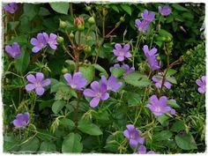 Geranium 'Nimbus'