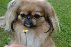 Jacqueline Gillam Fairchild--author: Estate of Mind Fu Dog, Dog Cat, Cute Puppies, Dogs And Puppies, Doggies, Animals And Pets, Cute Animals, Pekingese Puppies, Collie