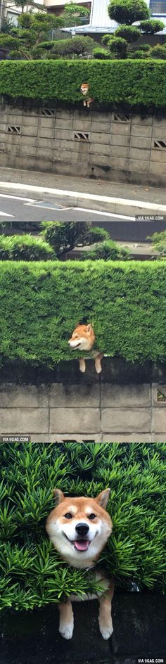 """I was on my way home and I saw this Shiba Inu """"flower"""" growing from the bush... - 9GAG"""