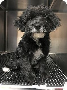 3/18/17 New York, NY - Poodle (Miniature) Mix. Meet Nathan, a puppy for adoption. http://www.adoptapet.com/pet/17785962-new-york-new-york-poodle-miniature-mix