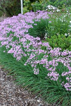 Tulbaghia Dark Star Boarder Plants, Edging Plants, Garden Edging, Boxwood Garden, Garden Hedges, Little Princess Spirea, Garlic Flower, Flower Boarders, Gardens
