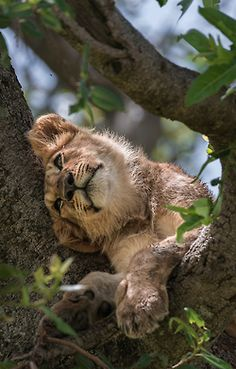 *Lion Cub